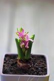 Spruit van hyacint Royalty-vrije Stock Afbeeldingen