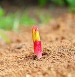 Spruit van hybride verscheidenheden van pioen (Paeonia) Stock Afbeelding