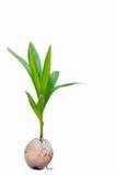 Spruit van kokospalm Stock Foto's