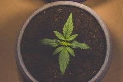 Spruit van medische marihuana Marihuanainstallatie die binnen groeien cannabis Legalisatie over de hele wereld stock fotografie