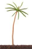 Spruit van Siberische pijnboom op maandleeftijd. Macro spruit. royalty-vrije stock foto's