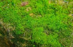 Spruiten van een groen mos op steen royalty-vrije stock fotografie