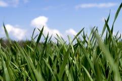 Spruiten van groen gras op een achtergrond van blauwe hemel royalty-vrije stock afbeeldingen