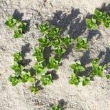 Spruiten van het Overzees Sandwort, Honckenya peploides Royalty-vrije Stock Foto's