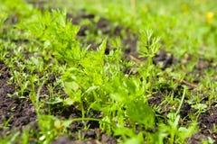 Spruiten van jonge wortelen op een zonnige dag in de tuin royalty-vrije stock afbeeldingen