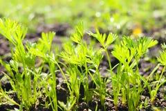 Spruiten van jonge wortelen op een zonnige dag in de tuin royalty-vrije stock foto