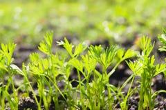 Spruiten van jonge wortelen op een zonnige dag in de tuin stock foto