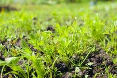 Spruiten van jonge wortelen op een zonnige dag in de tuin stock afbeeldingen