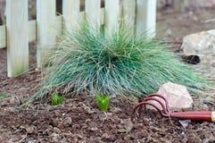 Spruiten van narcissenbloem in de tuin Stock Fotografie