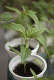 Spruiten van peper in plastic dozen thuis wordt gekweekt die stock foto's