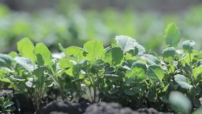 Spruiten van radijs Plantaardig landbouwbedrijf stock videobeelden
