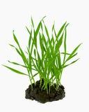 Spruiten van tarwe het groeien van de grond Royalty-vrije Stock Afbeelding