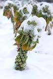 Spruitjes onder de sneeuw Stock Fotografie