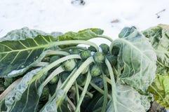 Spruitjes op gebied behandelde sneeuw Royalty-vrije Stock Afbeeldingen