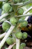 Spruitjes op stam Stock Foto's