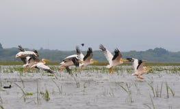 Sprung der langsamen Bewegung des Pelikans - Manyara (Kenia) Lizenzfreie Stockbilder