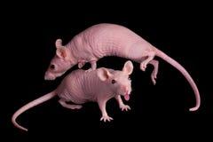 Sprung-Ratte Stockfotografie