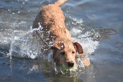 Spruzzando acqua intorno ad un cucciolo di cane del Toller con una palla Fotografia Stock