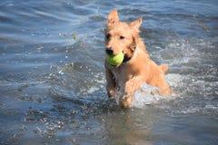 Spruzzando piccolo Duck Dog rosso nell'oceano con una palla Fotografie Stock