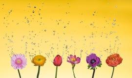 Spruzzata dell'acqua sopra i fiori misti Fotografie Stock