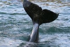 Spruzzata della coda della balena di assassino immagine stock