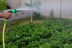 Spruzzatore del tubo flessibile della mano della tenuta del giardiniere fotografia stock libera da diritti