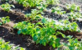 Spruzzatore di irrigazione del giacimento della patata che innaffia le piante Immagini Stock Libere da Diritti