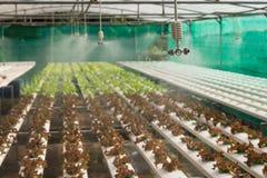 Spruzzatore nell'azienda agricola della verdura di coltura idroponica Immagine Stock Libera da Diritti