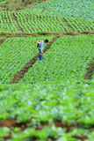 Spruzzatore non identificato dell'agricoltore il loro campo del cavolo, Petchabun, Tailandia Fotografie Stock Libere da Diritti