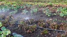Spruzzatori che innaffiano le verdure nel piccolo giardino dell'azienda agricola video d archivio