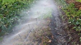Spruzzatori che innaffiano le verdure nel piccolo giardino dell'azienda agricola stock footage