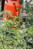 Spruzzatura dei cespugli del pomodoro Piante di pomodori proteggenti dal disea Immagine Stock Libera da Diritti