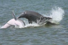 Spruzzatura dei delfini Immagini Stock Libere da Diritti