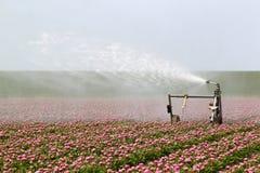 Spruzzatura del raccolto del tulipano Fotografia Stock