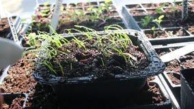 Spruzzatura del vassoio di piantine della cipolla per innaffiarle concetto di giardinaggio e di iniziare domestici del seme video d archivio