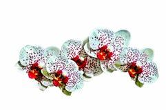 Spruzzo bianco dell'orchidea Fotografia Stock Libera da Diritti