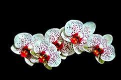 Spruzzo bianco dell'orchidea Immagini Stock Libere da Diritti
