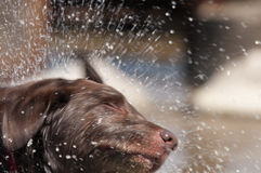 Spruzzo del cane Immagini Stock