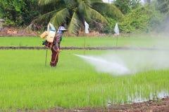 Spruzzo dell'agricoltore il fertilizzante nel giacimento del riso Immagini Stock