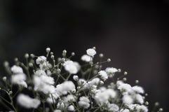 Spruzzo di piccoli fiori bianchi del Gypsophila con uno spazio basso della copia e di profondità di campo fotografia stock libera da diritti