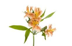 Spruzzo giallo arancione di Lilly di Alstroemeria Fotografia Stock