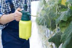 Spruzzo irriconoscibile del lavoratore della piantagione che tratta le piante Fotografia Stock Libera da Diritti