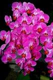 Spruzzo porpora dell'orchidea Immagini Stock Libere da Diritti