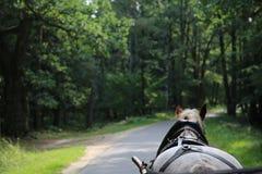 Sprzężny koń chodzi wzdłuż lasowej drogi w lecie fotografia royalty free
