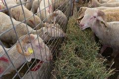Sprzedaż sheeps i kózki dla Eid al-Adha, festiwal poświęcenie, obrazy stock