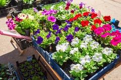 Sprzedaż rozsady dekoracyjni kwiaty Obrazy Stock
