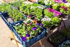 Sprzedaż rozsady dekoracyjni kwiaty Fotografia Royalty Free