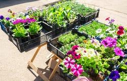 Sprzedaż rozsady dekoracyjni kwiaty Fotografia Stock