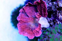 Sps coral in fish tank. Colorful stony polyp coral in saltwater reef aquarium tank Royalty Free Stock Image
