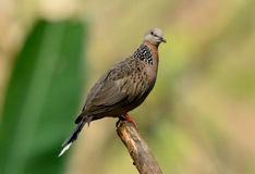 Sptted dove Royalty Free Stock Images